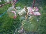 Grapevine in fuller leaf